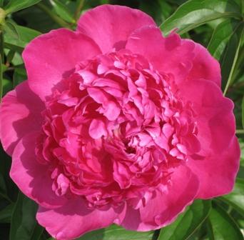 hot-pink-peony-bloom3Hot Pink Peony