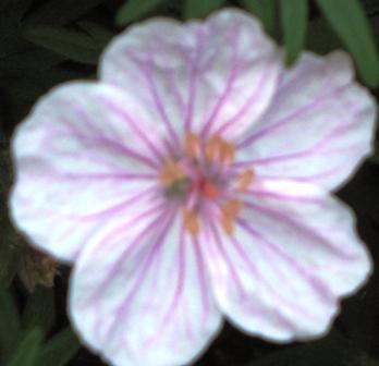 may-flower-hardy-geranium-bloom