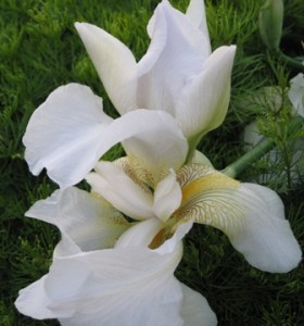 may-flower-white-german-iris1