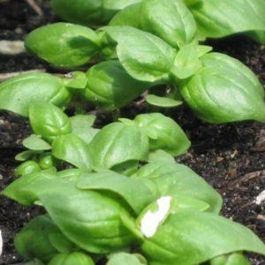 basil-plant4