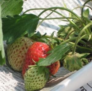 blushing-strawberries3