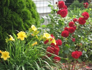 daylily-and-roses1