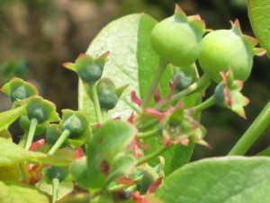 green-blueberries1
