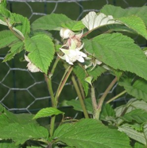 raspberry-blooms1