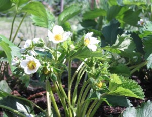 strawberry-bush-already-forming-fruit1