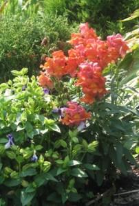 Snapdragan Plant