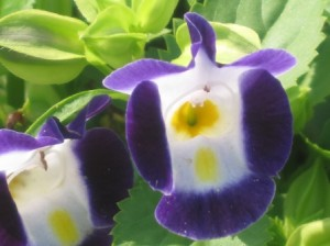 Torenia Flower - annual
