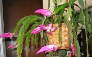 Spring 2010 - Christmas Cactus is a late bloomer