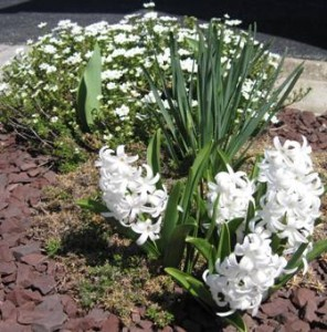 Blooming Hyacinths, Creeping Phlox, Daffodils, Tulip, and white stars
