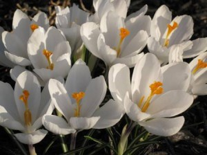 First flowers of spring 2010 - white crocus