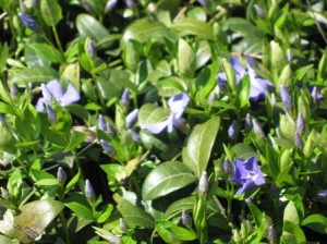 Periwinkle is full of flower buds and starting to bloom
