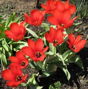 These Tulips are loving the warm sun