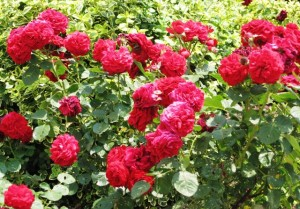 Roses in full bloom