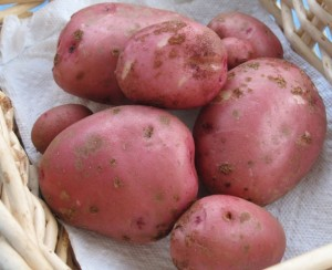 Potato crop from one plant