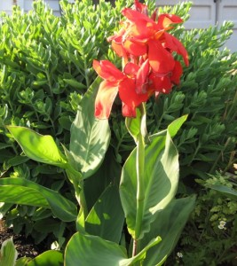 Red Canna Lily Plant