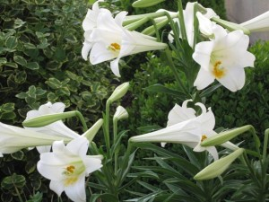 Very special White Lilies