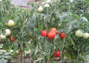 Big Boy tomatoes