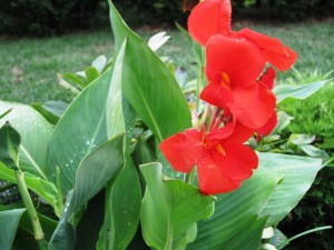 Canna Lily - flower display