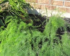 Asparagus plant