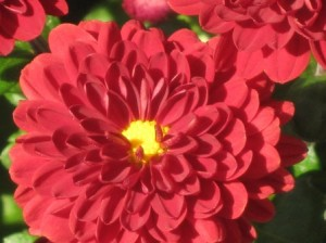 Huge hardy mums flower