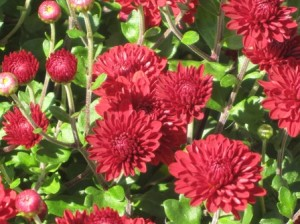 Huge hardy mums flowers