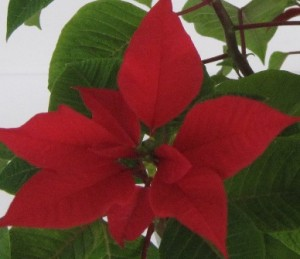 Close up view of last year's Poinsettia flower