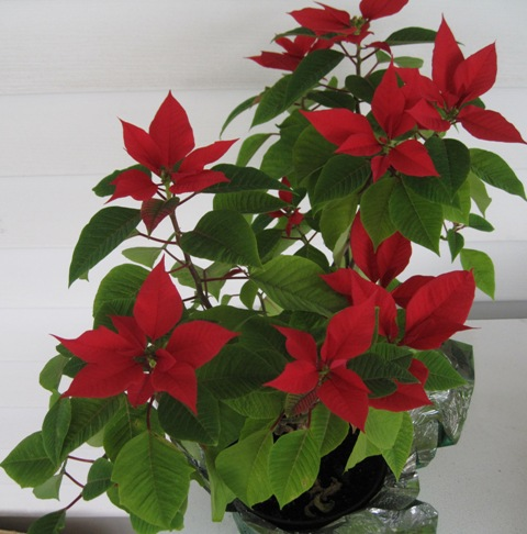 Poinsettias Are One Of Those Plants You Find In Every During Christmas Season And At The Curb Shortly After It Really Does Not Have To Be