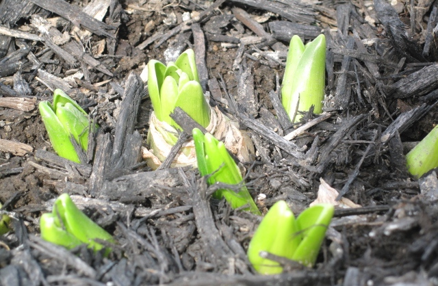 Spring 2011 - first sign of spring - Hyacinths