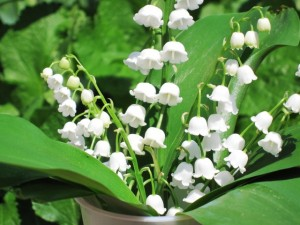 Spring 2011 - Dainty and sweetly fragrant bouquet of Lilly of the Valley
