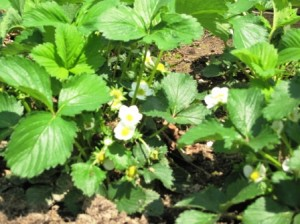Spring 2011- Strawberries in bloom