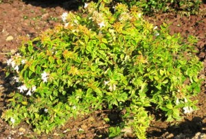 Abelia Kaleidoscope shrub