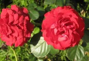 Red Rose Twins