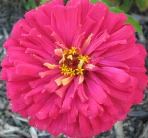 Gorgeous Zinnia Flower