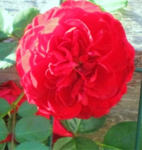 Red Rose - Fall bloom