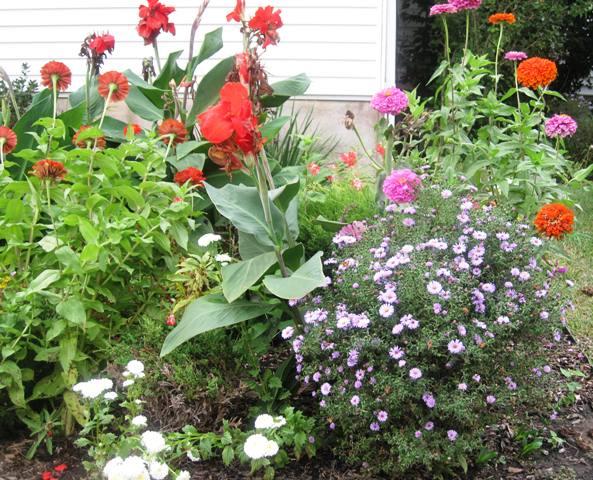 Purple Aster , Canna Lily, Zinnia