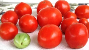 Last tomato crop - picked green, ripened with time