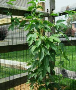 Passion Fruit plant