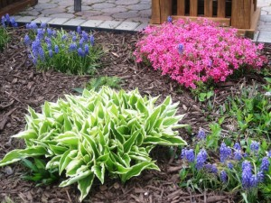 Hosta, Grape Hyacinths and Hot Pink Creeping Phlox