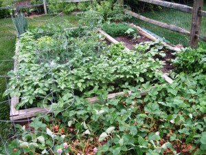 My vegetable garden 2015