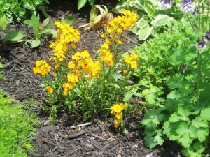 Citrona (Wallflower), Columbine, Black Eyed Susan, Mums,