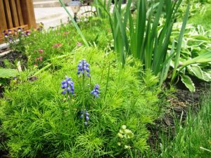 Grape Hyacinth within Coriopsis plant