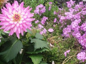 Pink Dahlia within Pink Creeping Phlox