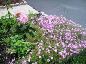 Pink Dahlia within Pink Creeping Phlox, Columbine, Mums, Snapdragon,