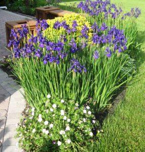 Siberian Irisis, Hardy Geranium, Hardy Viola