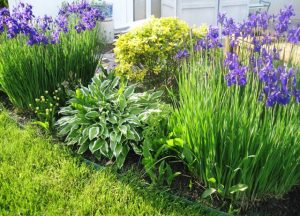 Siberian Irisis, Hosta, Hardy Viola, Lilly of the Valley, Chrysentimum