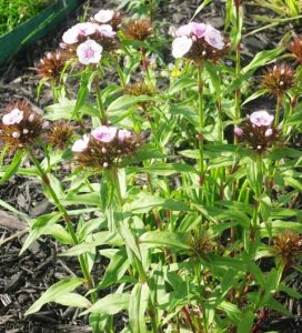Sweet William starting to bloom