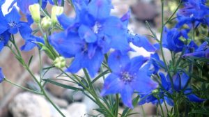 Diamonds Blue Delphenium flowers