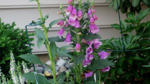 Foxglove flowers cluster