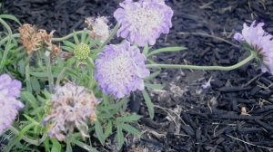 Scabiosa - Pincushion Flower