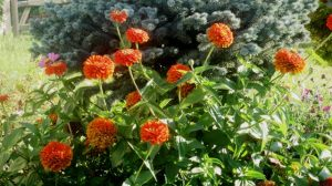 huge-zenia-plant-in-full-bloom